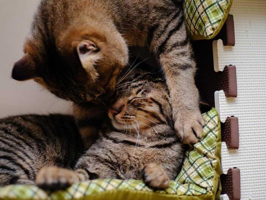 Как подружить кошек друг с другом