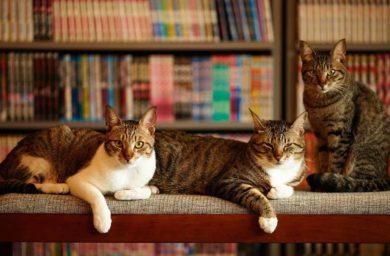 Как подружить кошек между собой в квартире