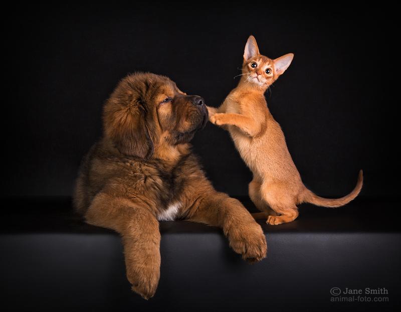 как знакомить щенка со взрослой кошкой