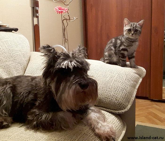 как происходит знакомство кошек