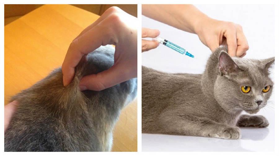 Как поставить укол коту в холку