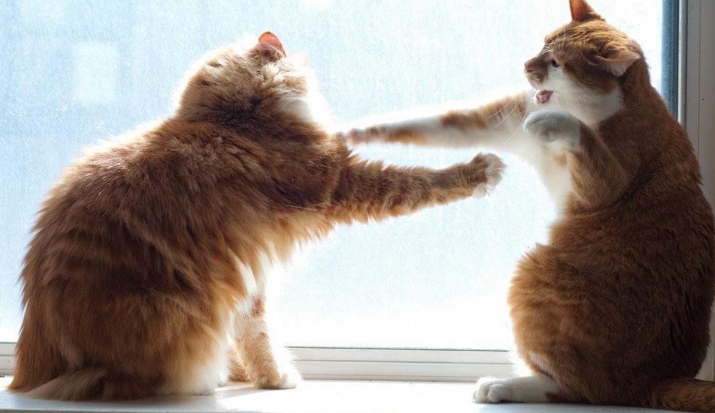 Драка котов из-за кошки