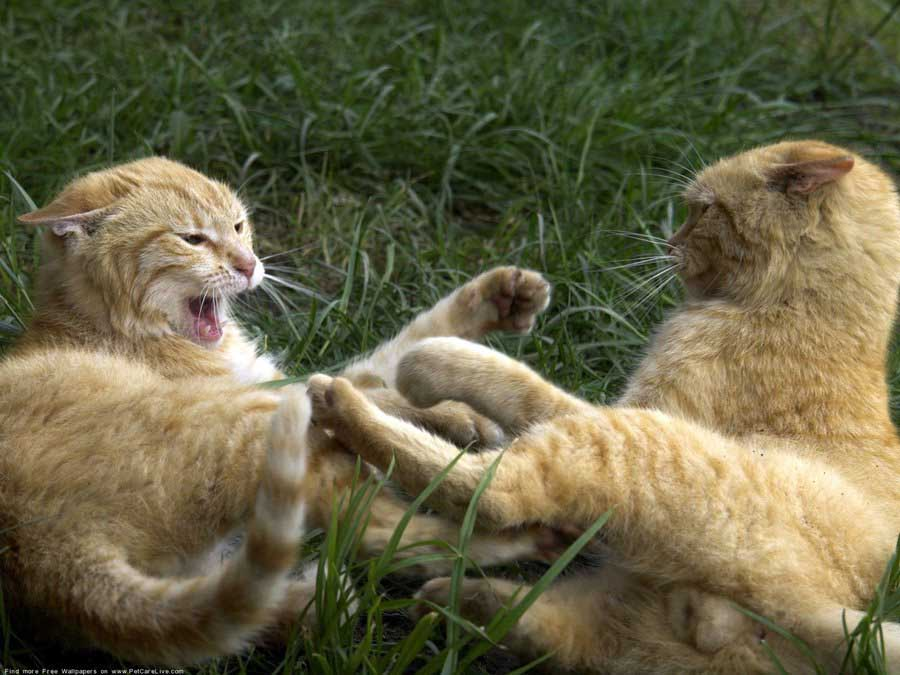 Как разнять дерущихся котов