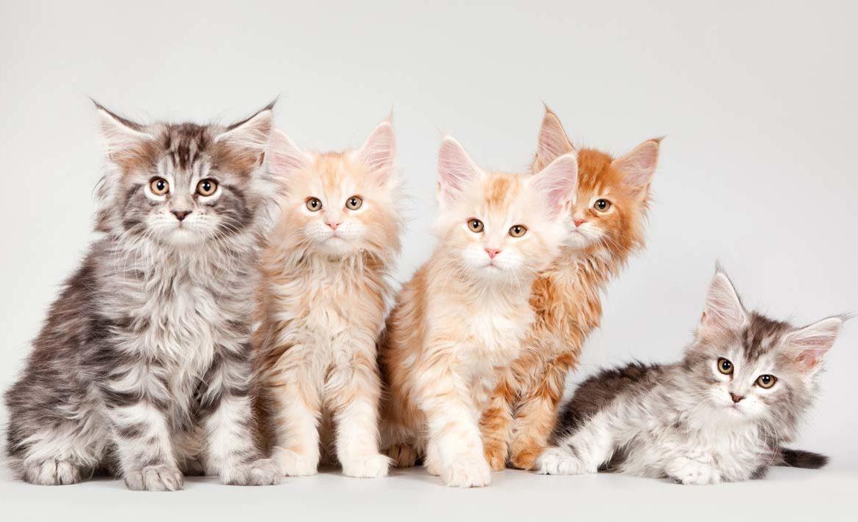 Как ты разбираешься в породах кошек?