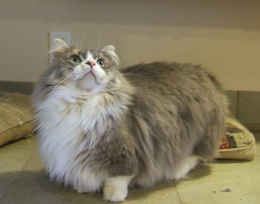 Как ты разбираешься в породах кошек