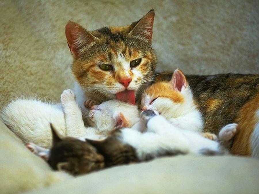 Как ухаживать за новорожденными котятами с кошкой