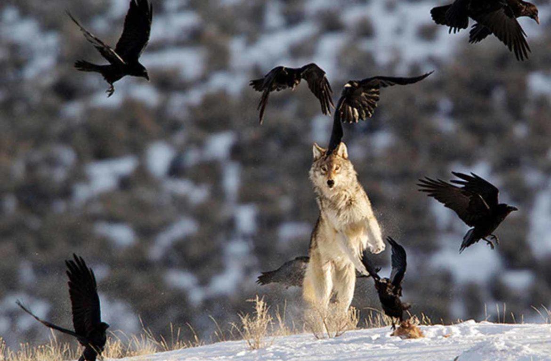 Как волки заповедник спасли: видео