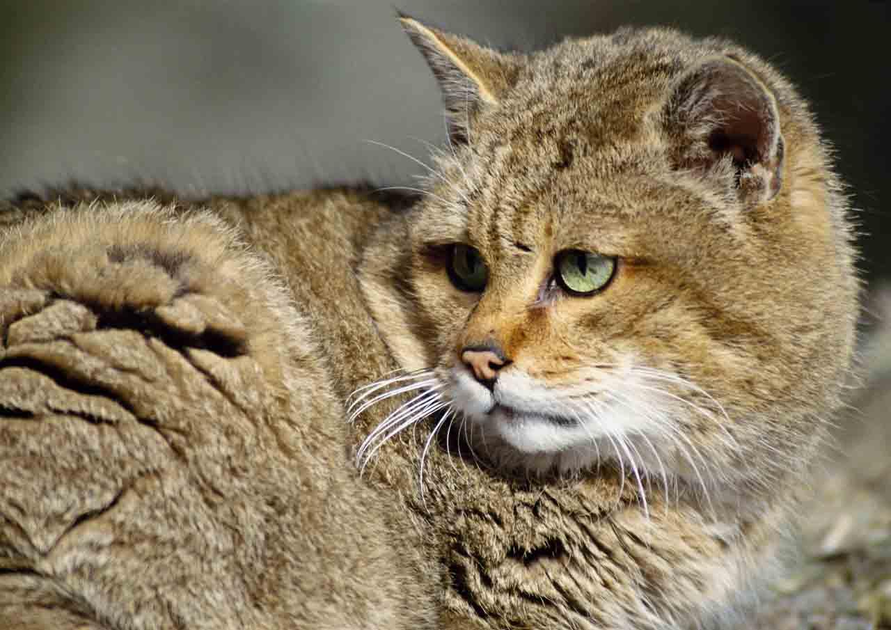 Как выглядит камышовый кот фото
