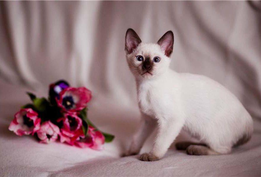 Как выглядит тайская кошка