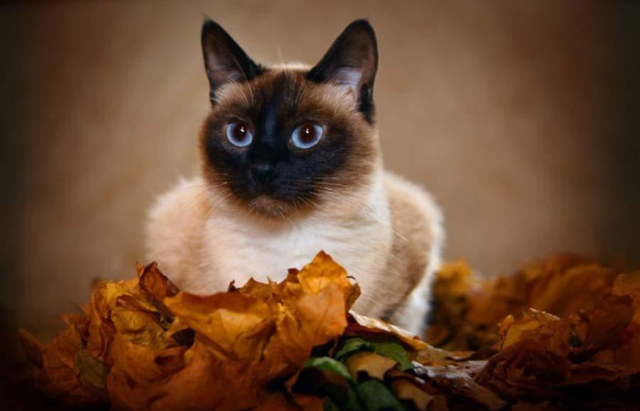 Как выглядит тайский кот