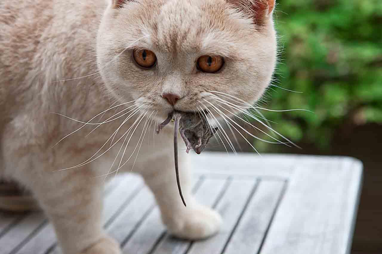 Кто лучше ловит мышей кошка или кот