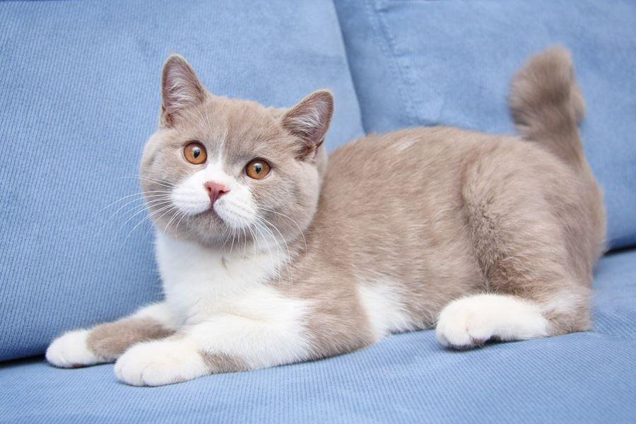 Какие глаза британских кошек