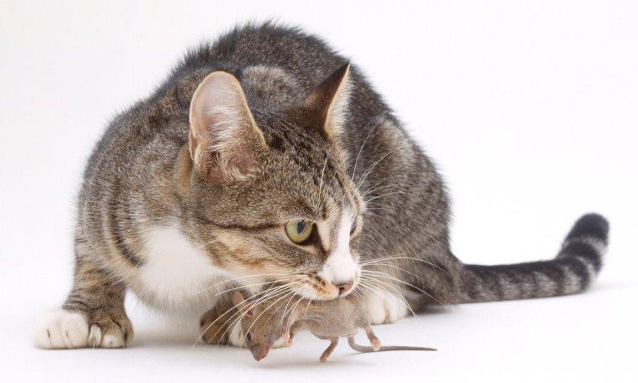 Какие кошки лучше ловят мышей