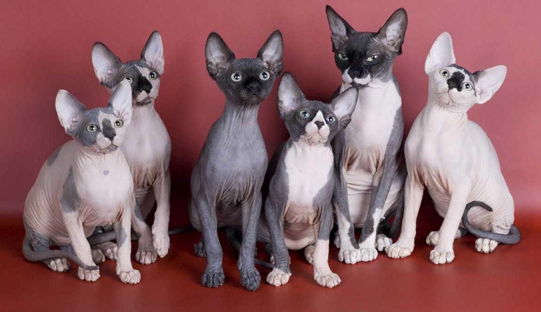 Кошки, которые не линяют и пахнут — миф для перфекционистов