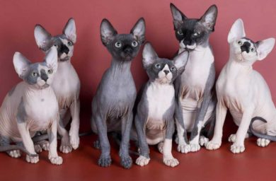 Какие кошки не линяют и не пахнут