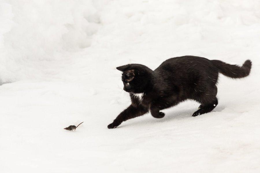 Кошки или коты лучше ловят мышей