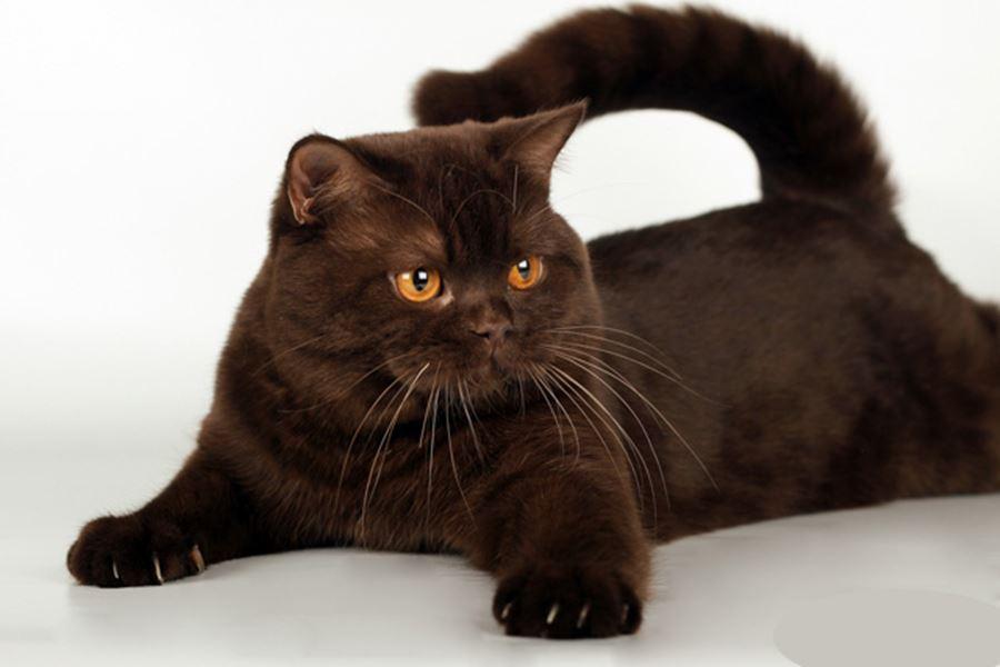 Обои на рабочий стол шоколадный кот
