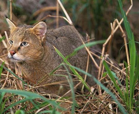 Какой кот камышовый