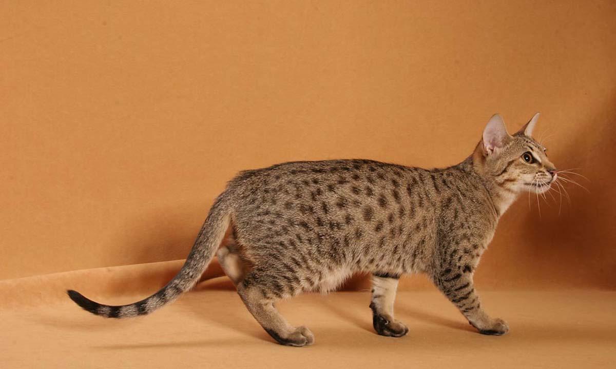 Калифорнийская порода кошек