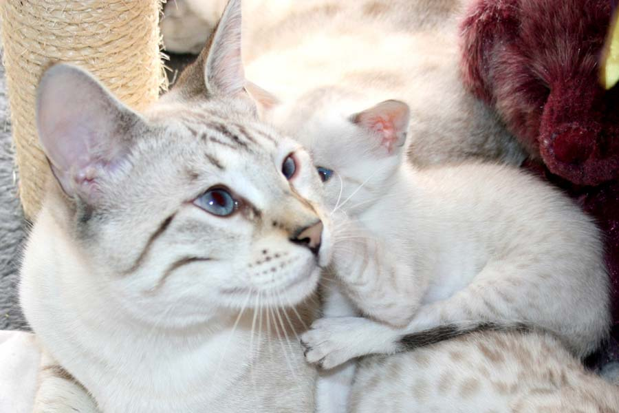 Калифорнийский сияющий кот: фото