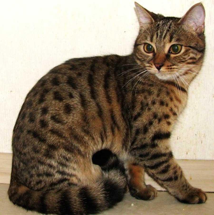 Калифорнийский кот: фото