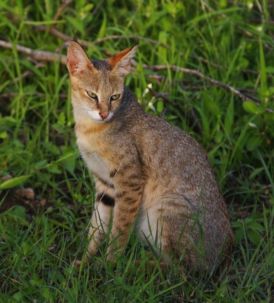 Камышовая порода кошек: фото