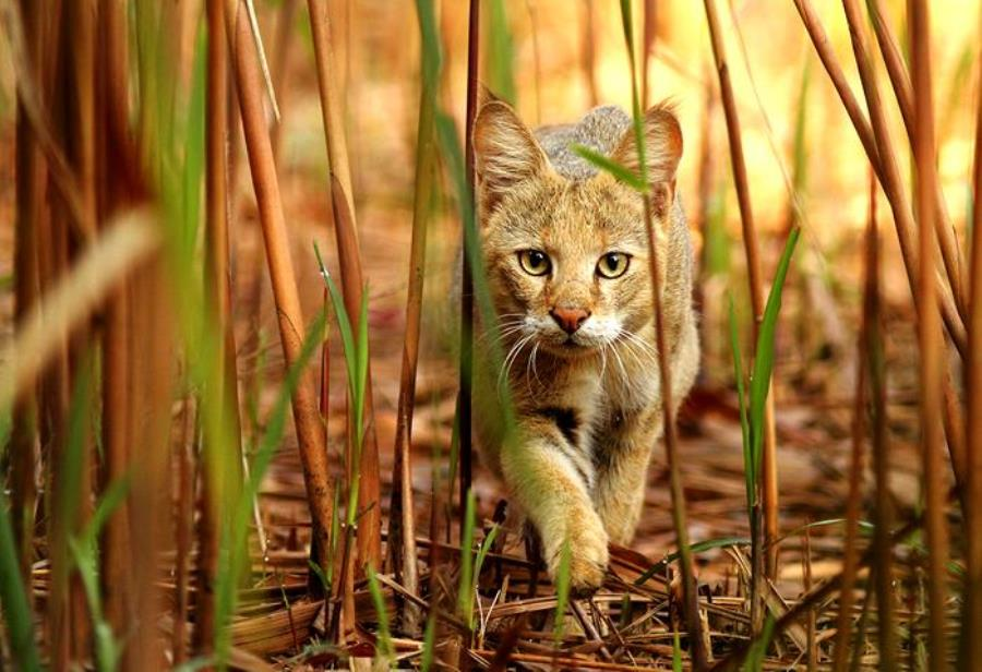 Камышовый кот характер
