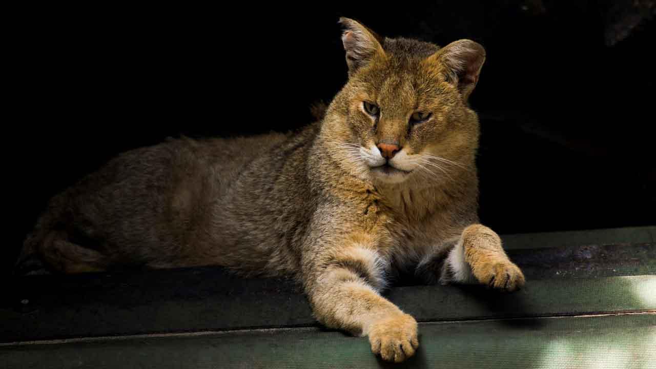Камышовый кот: интересные факты
