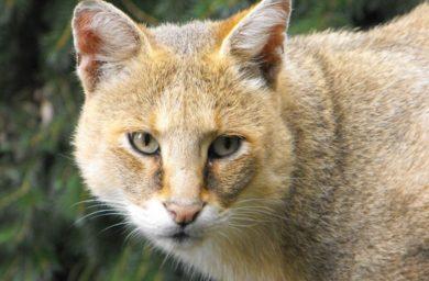 Камышовый кот: картинки