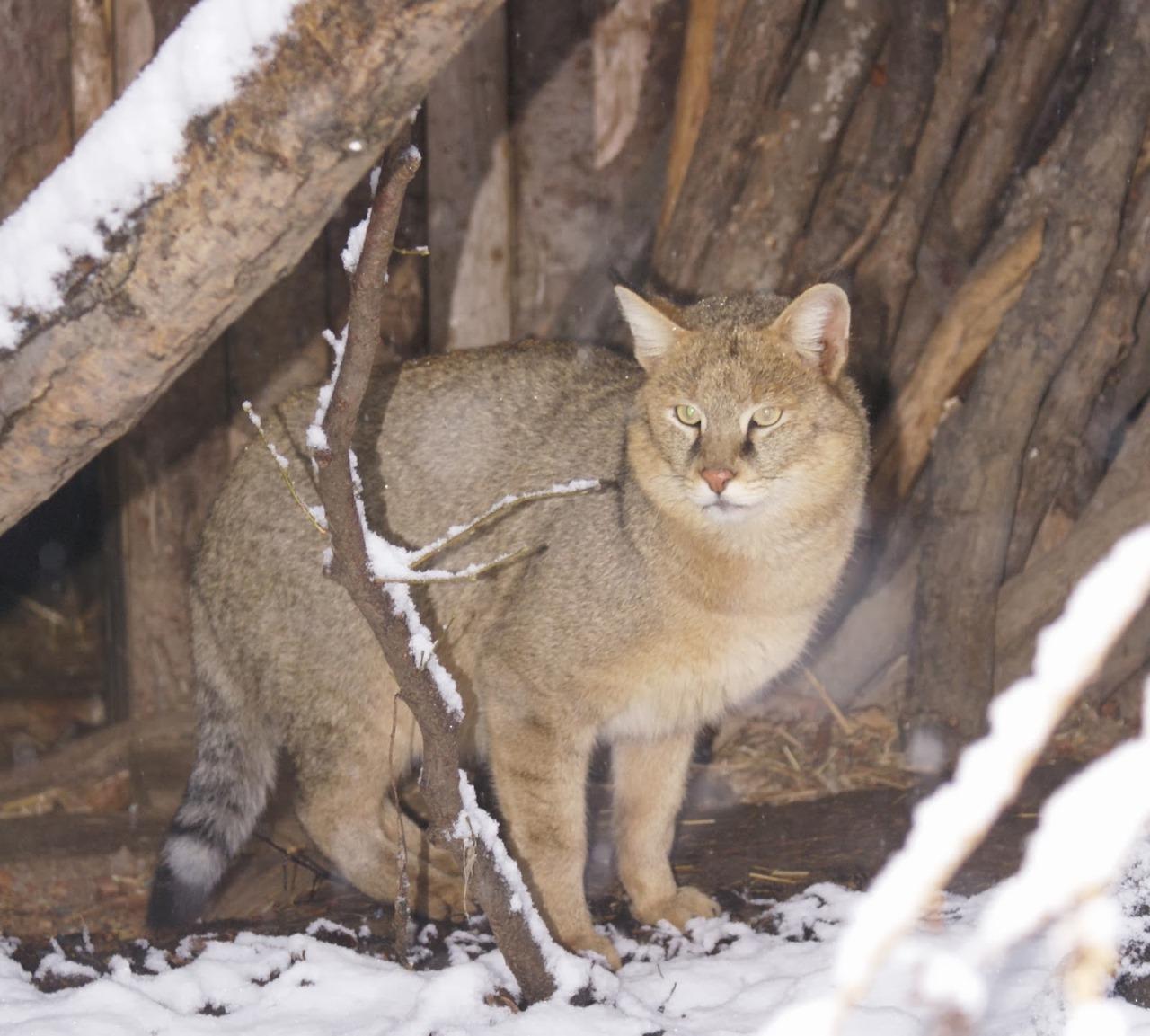 Камышовый кот описание породы