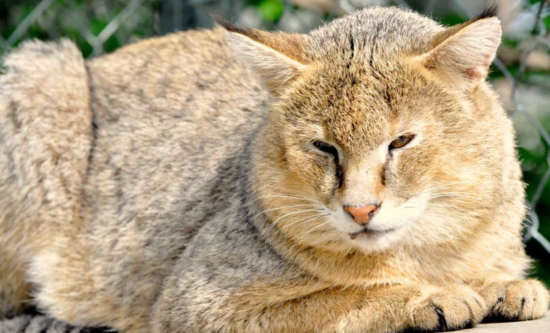 Дикий камышовый кот — домашний тиран за большие деньги