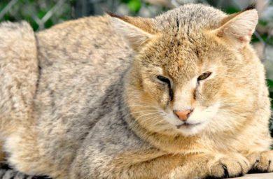 Камышовый кот в домашних условиях