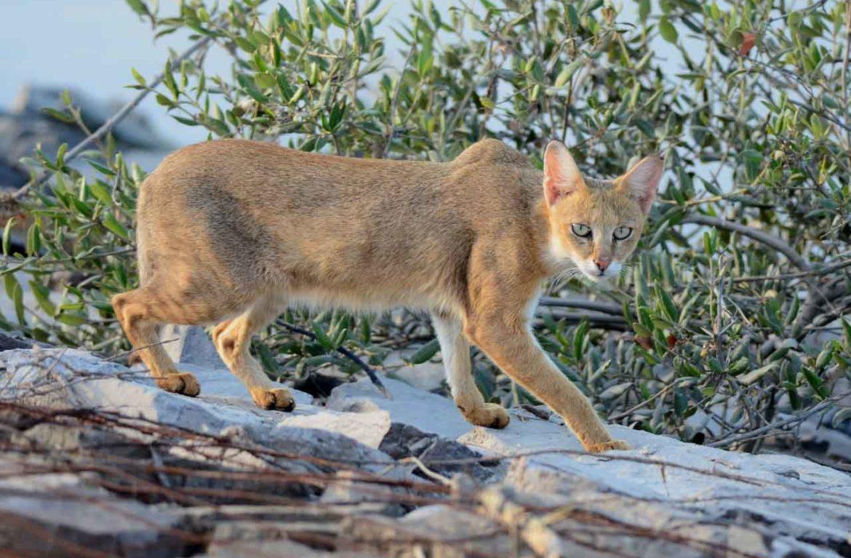Размеры камышового кота: меньше тигра – больше кошки