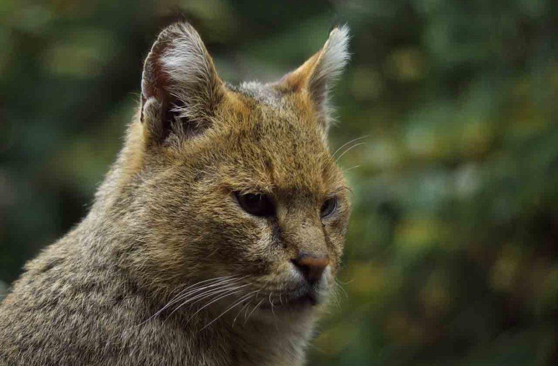 Как в природе живет камышовый кот — видео из среды обитания