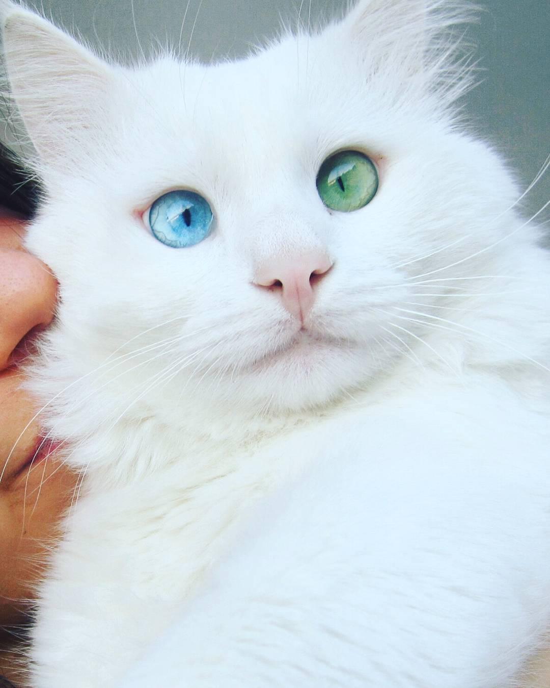 Картинки белого кота с разными глазами