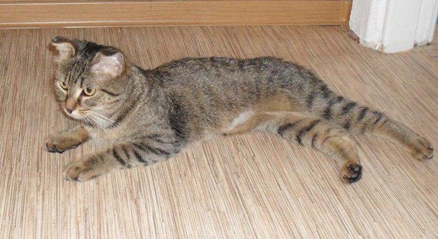 Кастрированный кот худой