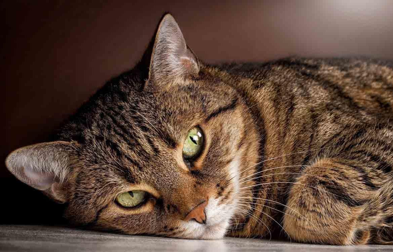 Кельтская кошка — европейская короткошёрстная?
