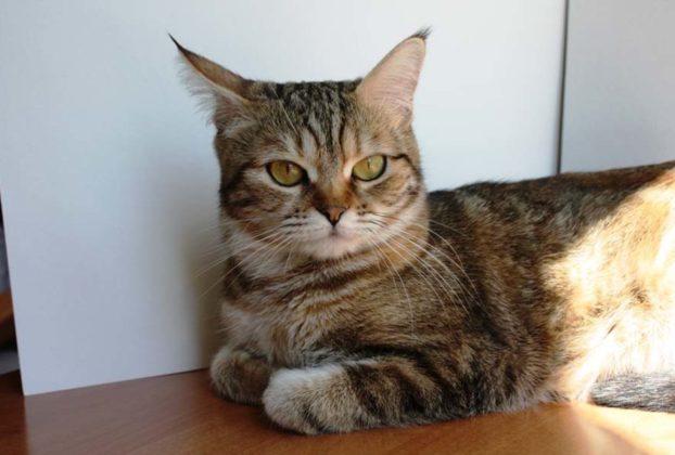 Кельтская кошка: фото