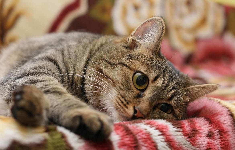 Кельтская порода кошек — фото без причуд