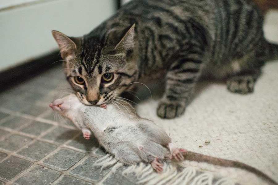 сонник кошки ловили крыс