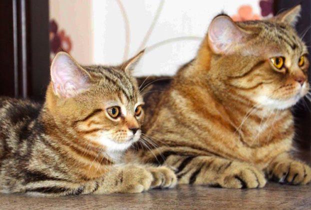 Кельтская порода кошек: фото