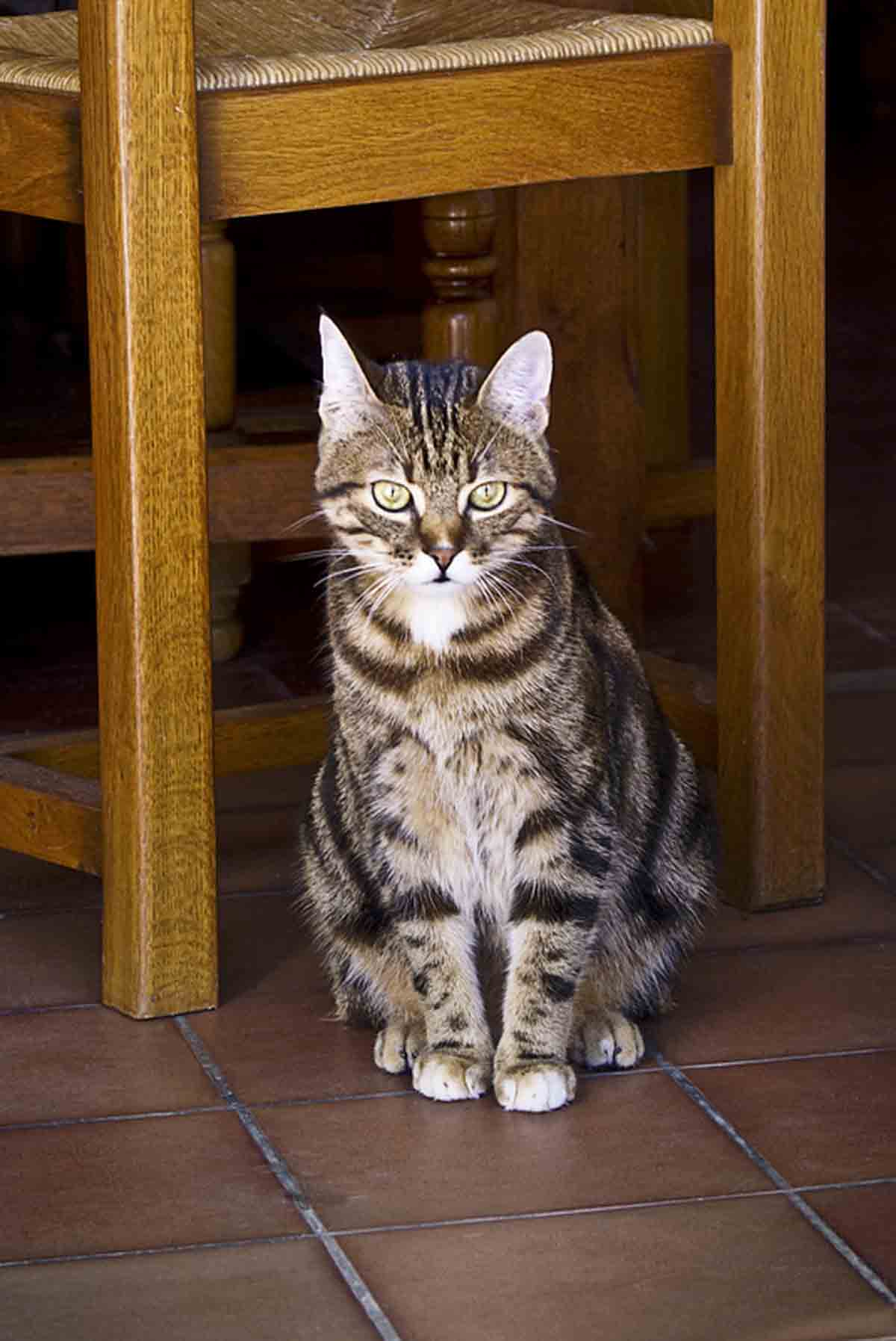 Описание кельтской породы кошек