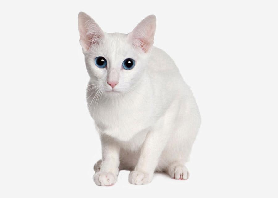 Кельтский кот: фото
