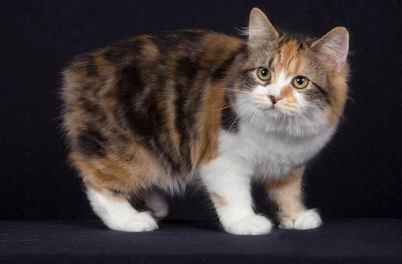 Кошка кимрик: фото американки с британскими корнями