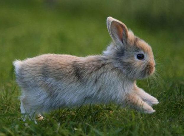 Кимрик похож на кролика: фото