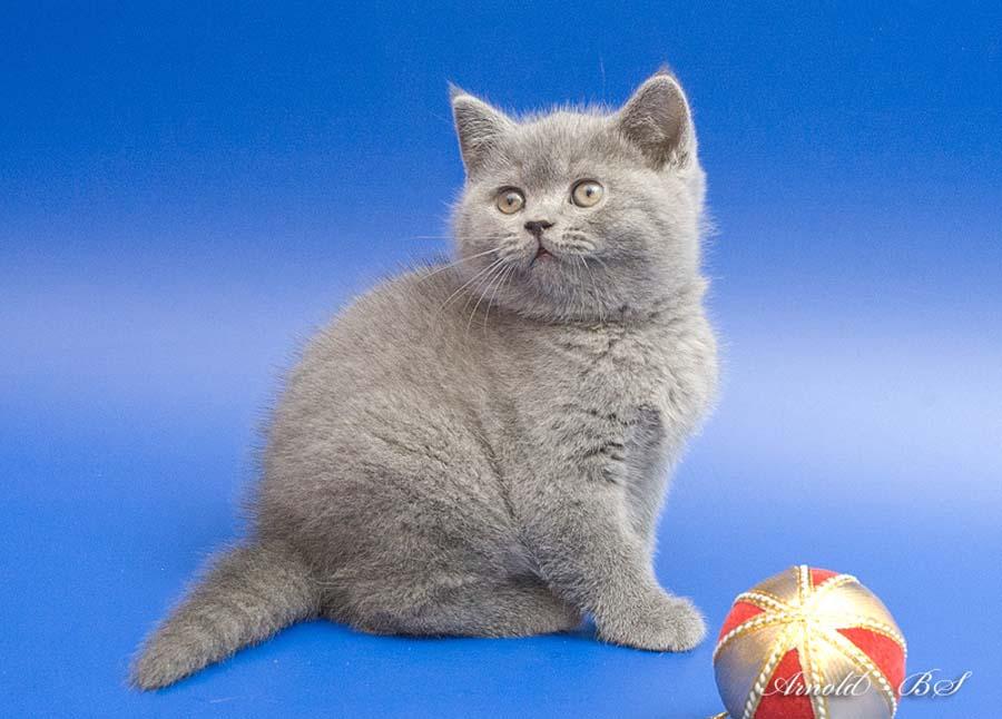 Имена для шотландских кошек девочек серого цвета