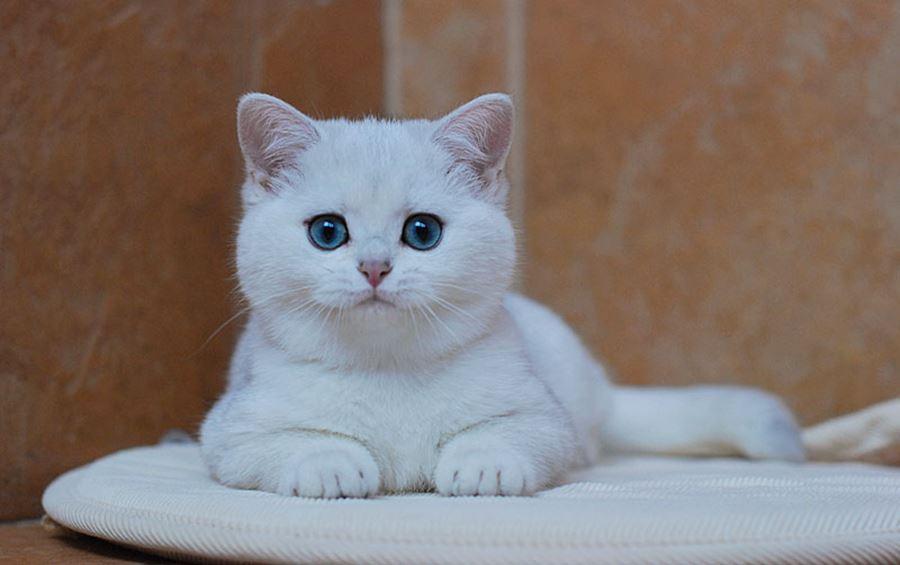 Клички для британских кошек-девочек