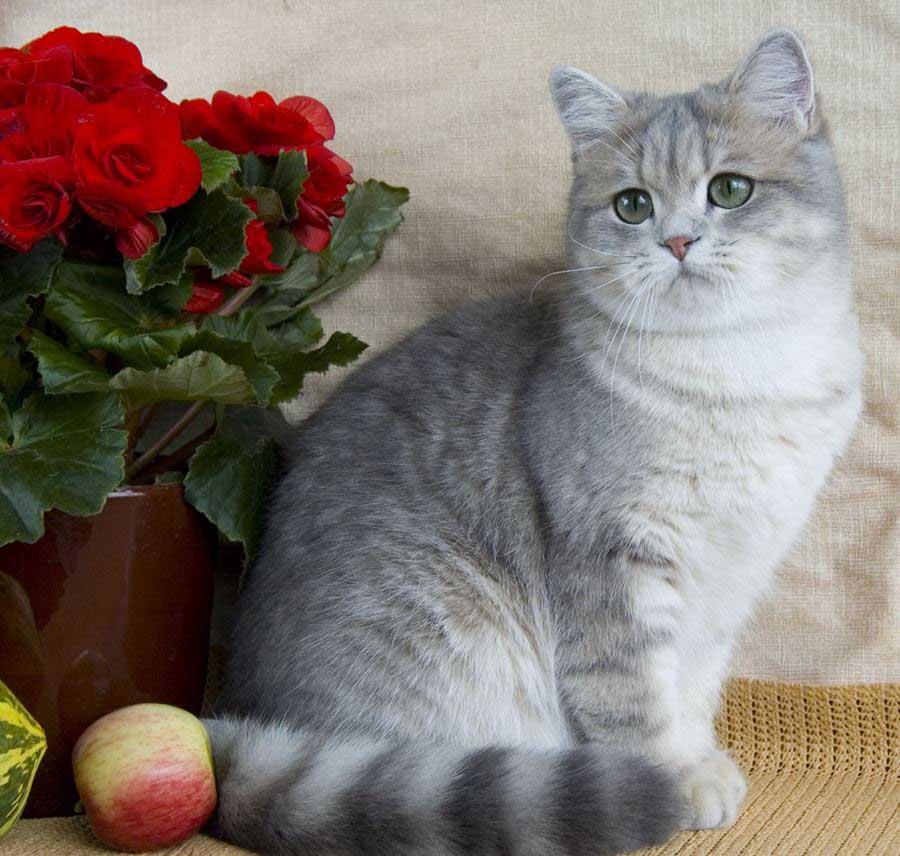"""Клички для британских кошек на букву """"М"""""""