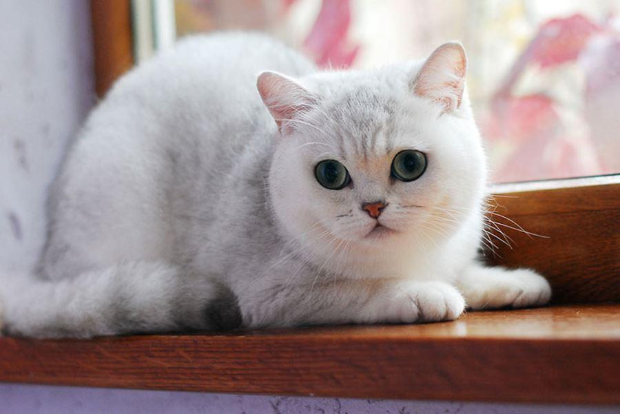 Клички для кошек британской породы: список лучших