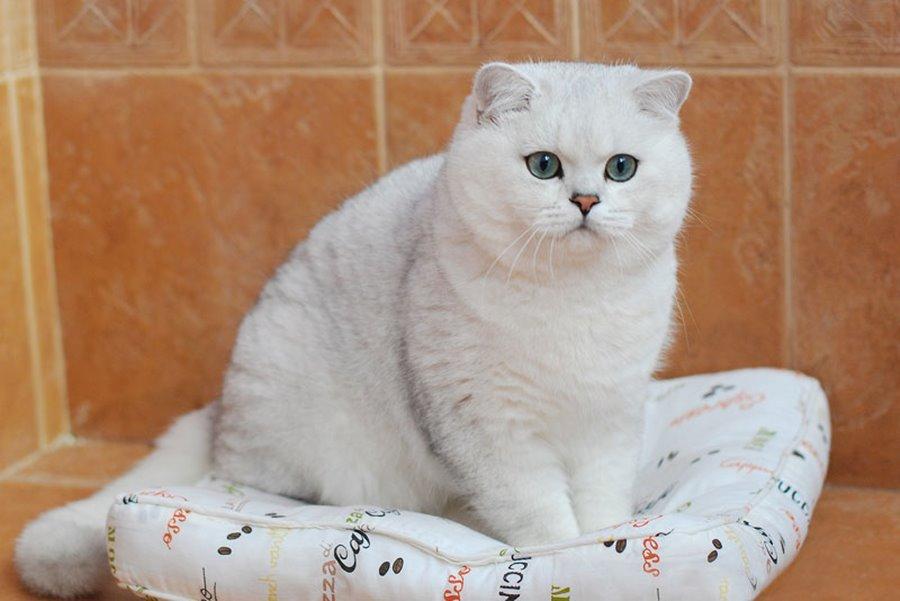 Прикольные клички для кошек девочек британской породы